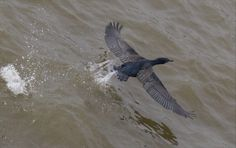 A thames Cormorant taking off