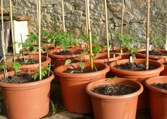 10 Tomatoes to Grow in Your Container Garden : TreeHugger