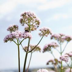 Valerian  - Proven ways to control the symptoms of anxiety without medication.