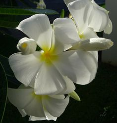Frangipani in morning light...