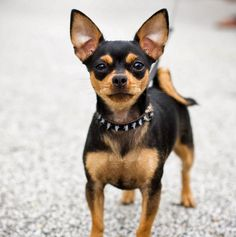 Different Types of Chihuahuas Dog Mixes Breeds with Pictures Deer Chihuahua, Types Of Chihuahua, Cute Chihuahua, Chihuahua Puppies, Small Sized Dogs, Small Dogs, Airedale Terrier, Boston Terrier, Badass