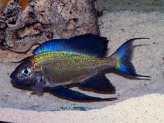 """Cyathopharynx Faoi - ~9"""" tanganyikan cichlid, featherfin, similar to Furcifer but darker and more vivid in color, residing in deeper parts of the lake, requires very large tank (over 75g)"""