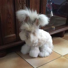 Loki the Frenchy English angora rabbit