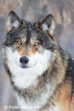 Gray Wolf in the falling snow.