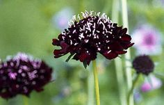 Ace of Spades Scabiosa 50 Seeds - Gothic - Perennial