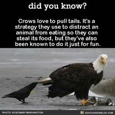 Omg a crow is my spirit animal! Animals And Pets, Funny Animals, Cute Animals, Funny Birds, The More You Know, Did You Know, Crow Facts, Raven Facts, Amazing Animals