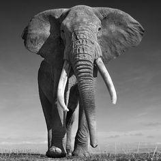 Photo Elephant, Elephant Art, African Elephant, African Animals, Elephant Quotes, Elephant Photography, Wildlife Photography, Animal Photography, Amazing Animals