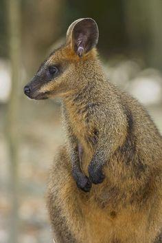 Swamp Wallaby, Wallabia bicolor, Australia by AusBatPerson, via Flickr