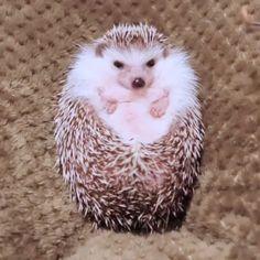 Hedgehog Pet, Cute Hedgehog, Cute Animal Videos, Cute Animal Pictures, Cute Pics, Cute Videos, Cute Little Animals, Cute Funny Animals, Cute Animal Humor