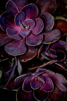 From Tumblr - Don't know what kind of sedum or sempervivum this is (maybe an Aeonium?), but it sure is lovely!