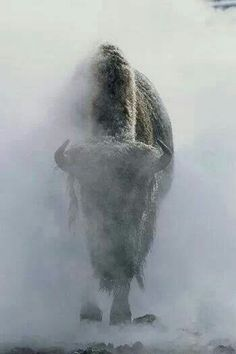 A Bison in Yellowstone - what a truly amazing photo! I can hardly believe that such a shot has been captured. The bison appears so mysterious, even threatening, as it goes through the mist. I didn't even know that there were Bison in Yellowstone! Photographie National Geographic, National Geographic Photography, Wildlife Photography, Animal Photography, National Geographic Animals, National Geographic Photos, Amazing Photography, Beautiful Creatures, Into The Wild