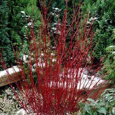 Cornus alba sibirica - Westonbirt Dogwood | Johnstown Garden Centre, Ireland