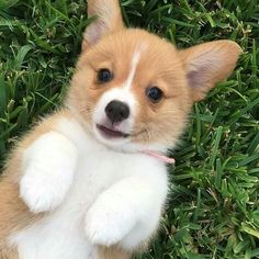 The background of the Pembroke Welsh Corgi has deeply steeped in folklore that it is not clearly known where it originated from. Cute Corgi Puppy, Corgi Funny, Corgi Dog, Baby Corgi, Cute Baby Dogs, Cute Dogs And Puppies, Lab Puppies, Cute Little Animals, Cute Funny Animals