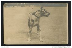 DOG HUNDE GREAT DANE DOGGE OLD REAL PHOTO POSTCARD #71 1904 - Delcampe.net