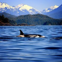 Tofino, Vancouver Island, Canada I have seen killer whales in the sound..