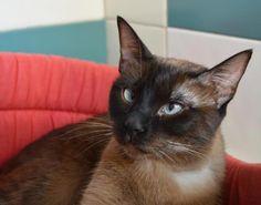 VALERIA - Gato adoptado - AsoKa el Grande