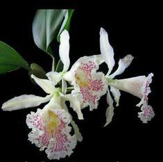 Orquídeas crespas