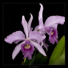 Laeliocattleya canhamiana 'Fubaja' - Flickr - Photo Sharing!
