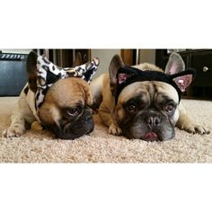 """""""Are You gonna Meow?"""".....""""'Cause I'm not Gonna!"""", French Bulldogs in Cat Costumes."""