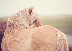 Wild Horse Photography Palomino Wild Horse by stephaniemoon, $30.00
