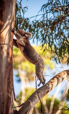 Koala jump by Luca Bortolossi
