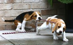 'Beagles Across Australia' is annual event for all Beagle enthusiasts around Australia to join in on a national day of celebration for Beagles and features a host of events and walks taking place across the country