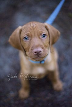 Ace - 2 months old today, #vizsla, #vizslapuppy