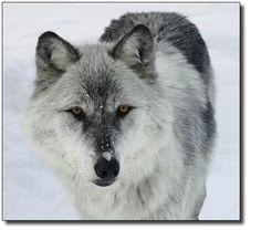 SNOW GREY WOLF