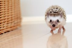 """If my kids ever ask """"Mom can we get a hedgehog?""""  I'm afraid I would totally cave."""