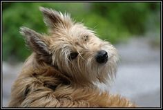 berger picard dog photo | the berger picard or berger de picard originated in the picardie ...