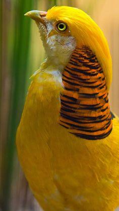"Mellow Yellow - ""Golden Pheasant - Chrysolophus pictus "" by Ali Alqudsi Kinds Of Birds, All Birds, Love Birds, Birds Photos, Beautiful Creatures, Animals Beautiful, Cute Animals, Most Beautiful Birds, Exotic Birds"