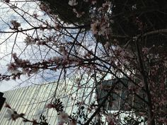Akasaka Sanno Hie Shrine. Came out in December and will last till March, when normal cherry blossom comes.