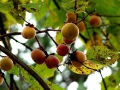 American Persimmon Facts and Recipes : Wild Abundance