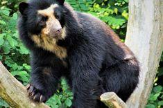 Spectacled Bear, Fauna, Black Bear, My Animal, Mammals, Cute, Terra, Ecuador, Branding