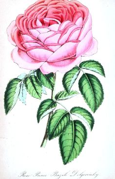 Botanical - Flower - Rose, pink