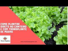 COMO PLANTAR ALFACE CRESPA EM VASOS - YouTube