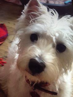Adorable half west highland terrier and half Bichon Frisé 'Millie'