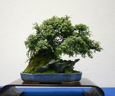 Bonsai… 盆栽・水石・山草フェア