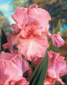 bridesmaid bouquet idea (pink irises) - simple wrapped bouquet, no other flowers