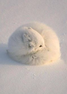 Most animals are cute, however fluffy animals certainly have the edge when it comes to being absolutely adorable. Everyone one of these animals looks so Nature Animals, Animals And Pets, Baby Animals, Cute Animals, Animals In Winter, Artic Animals, Strange Animals, Wild Animals, Beautiful Creatures