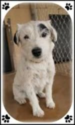 Shiloh is an adoptable Terrier Dog in Midland, TX.  ...