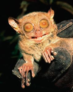 Philippine Tarsiers can fit in the palm of your hand and live in the Phillippines. Their bulging eyes are bigger than the size of their brains. Their hands and legs resemble human limbs and they can leap as high as 10 feet.