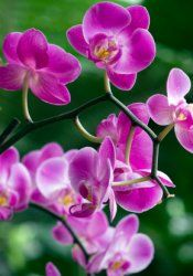 moth orchids, orchids