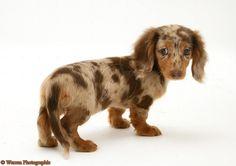 miniature dapple chocolate dachshund, very much in love.