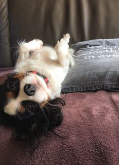 Cavalier King Charles, Cavalier King Spaniel, King Charles Puppy, King Charles Spaniel, Puppies And Kitties, Cute Puppies, Cute Dogs, Doggies, Cute Puppy Pictures
