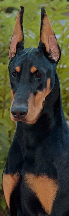 Doberman Pincher - by Foxfire Dobermans....this Doberman is remarkable. It's sitting at attention and the alertness it has makes a smart looking dog.