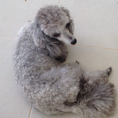 Silver Poodle, Dog Grooming, Best Dogs, Dogs And Puppies, Wildlife, Toy Poodles, Miniature, Animals, Pretty