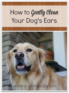 How to Clean Dog's Ears with stuff you probably already have. #dogs