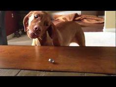 Vizsla has funny reaction to wedding ring (VIDEO) » DogHeirs | Where Dogs Are Family « Keywords: Vizsla, wedding ring