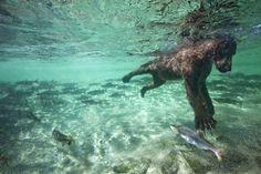 Bear catching salmon
